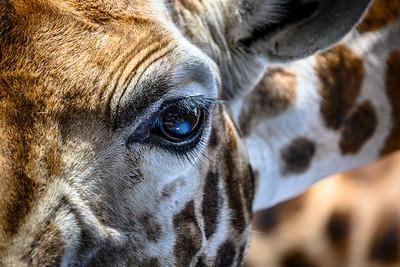 In the eye of the giraffe