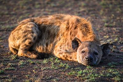 Hyena rests at sunrise