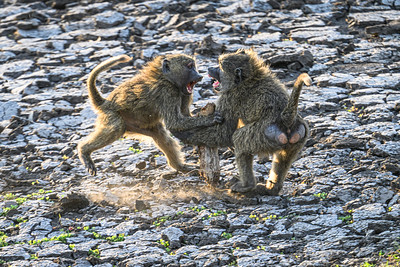 Two baboons spar over a wooden weapon; Serengeti National Park, Tanzania