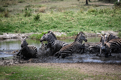 Zebras run in horror for their lives from the crocodile, partially visible in the water on the left