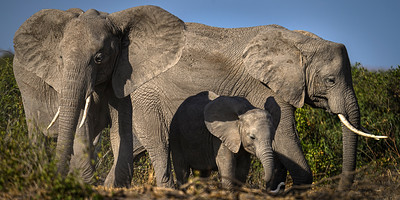 Elephant family out for a stroll; Amboseli National Park, Kenya