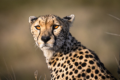 The cheetah sights prey; Serengeti National Park, Tanzania