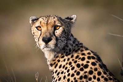 The cheetah sights prey