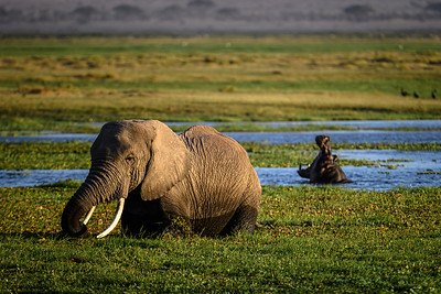 The hippopotamus opens wide as the elephant cruises by in the swamp; Amboseli National Park, Kenya