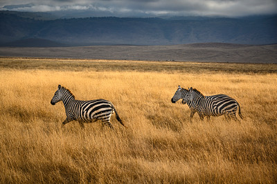 Zebras run at dawn on the savannah inside Ngorongoro Crater