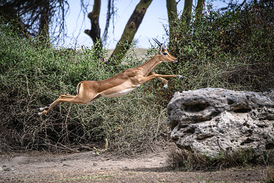 The impala can seemingly fly; Amboseli National Park, Kenya