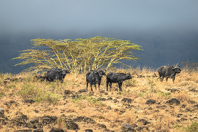 Water buffaloes watch the approaching storm
