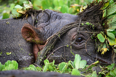 Hippopotamus in hiding? Lake Manyara National Park, Tanzania