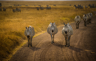 The Three Amigos:  Zebras take to the road; Ngorongoro Crater, Tanzania