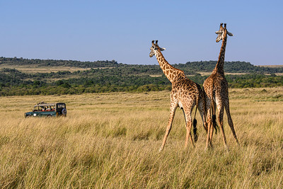 Two giraffes wonder: Who is watching who?  Masai Mara National Reserve, Kenya