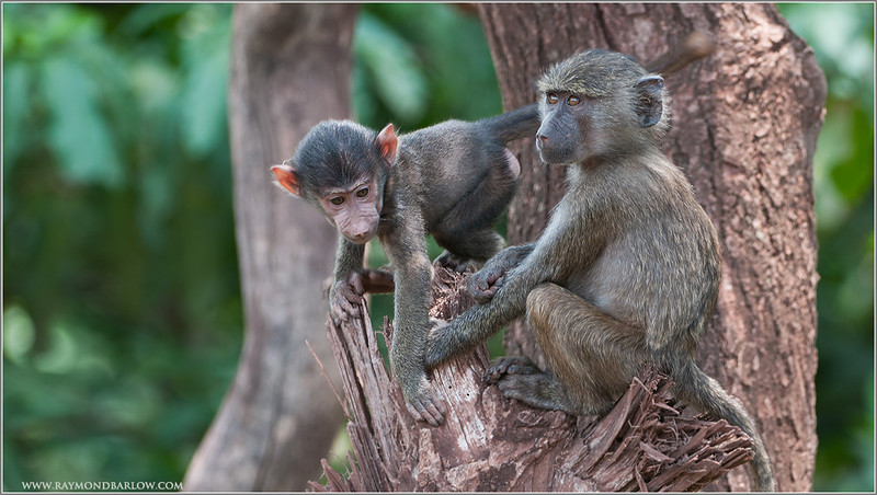 Baboons in Tanzania, Africa