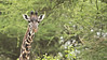 RAY_3618 Giraffe in the Trees   1200 web