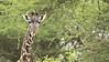 RAY_3618 Giraffe in the Trees   1200 web