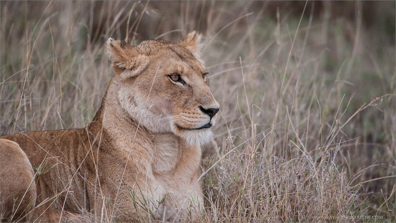 Female Lion<br /> RJB Tanzania, Africa Tours<br /> <br /> ray@raymondbarlow.com<br /> 1/250s f/4.0 at 400.0mm iso400