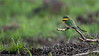 Little-bee Eater