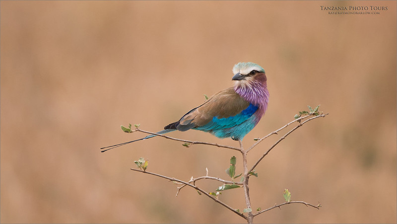 Lilac-breasted roller<br /> Raymond Barlow Photo Tours to Tanzania Wildlife and Nature<br /> <br /> ray@raymondbarlow.com<br /> Nikon D810 ,Nikkor 200-400mm f/4G ED-IF AF-S VR<br /> 1/640s f/4.0 at 400.0mm