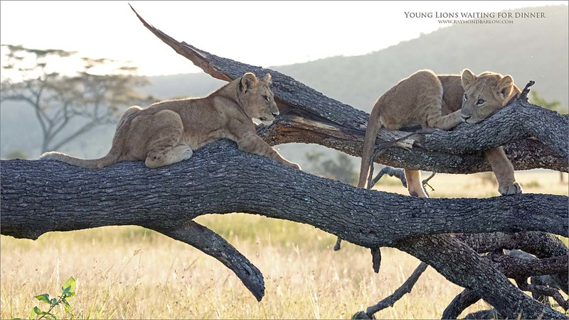 Well, I think this is the third image I have edited from the young lion scene, we all were so lucky to witness such a sight.<br /> <br /> These 2 lions were on their own, as the adults were very likely out hunting.  We were able to completely circle the fallen tree to get every possible angle that we could hope for.  Front lite, back lite, low through the window, and high while standing up.  It was amazing.<br /> <br /> Thanks to my brother Muba who gave us a great tour, brilliant in every way, and thanks to all the lodge staff who were excellent as usual.<br /> <br /> Love true Nature.