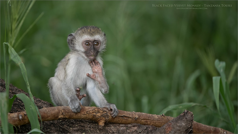 Black Faced Vervet Monkey Baby<br /> Raymond Barlow Photo Tours to Tanzania Wildlife and Nature<br /> <br /> ray@raymondbarlow.com<br /> <br /> New tour to Tanzania coming soon!<br /> also, Florida!<br /> Nikon D850 ,Nikkor 200-400mm f/4G ED-IF AF-S VR<br /> 1/1000s f/4.0 at 400.0mm iso1600