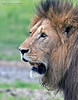 Handsome boy!<br /> <br /> Maybe 9-10 years old.<br /> <br /> A beautiful male lion poses for the camera.<br /> <br /> Superb and massive, this cat is a well-aged male, in his prime for mating.  Judging by the lack of scars on his face, it would seem that he has few challengers in his life.  <br /> <br /> Awesome animal, and a treat for us to be so close!<br /> <br /> Thanks for looking!