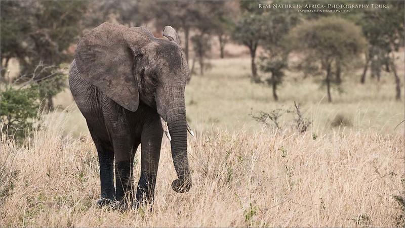 Elephant in Tanzania<br /> Raymond Barlow Photo Tours to Tanzania Wildlife and Nature<br /> <br /> Prints and workshops -<br /> ray@raymondbarlow.com<br /> Nikon D810 ,Nikkor 200-400mm f/4G ED-IF AF-S VR<br /> 1/1250s f/6.3 at 340.0mm iso800