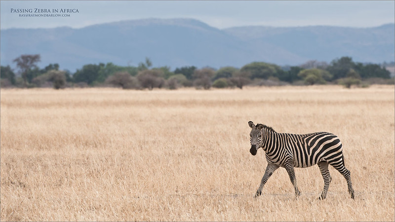 Passing Zebra<br /> Raymond Barlow Photo Tours to Tanzania Wildlife and Nature<br /> <br /> ray@raymondbarlow.com<br /> Nikon D810 ,Nikkor 200-400mm f/4G ED-IF AF-S VR<br /> 1/500s f/7.1 at 400.0mm iso160
