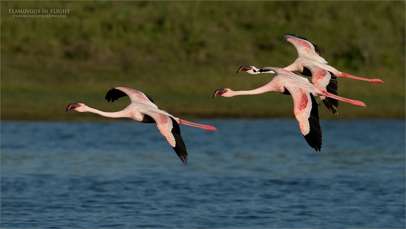 A Morning with the Flamingos<br /> <br /> It was so nice to catch these birds in flight and in formation.  We had sweet light and environment for the background.  All good in TZ!<br /> <br /> Thanks for looking!