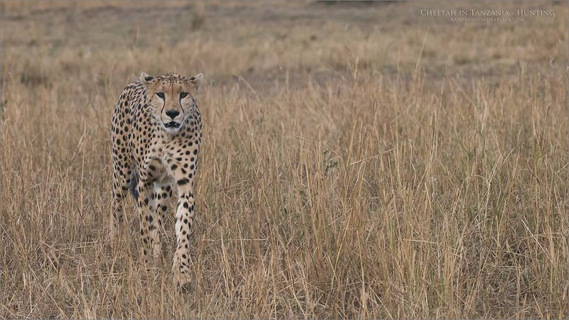 Cheetah Hunting<br /> Raymond Barlow Photo Tours to Tanzania Wildlife and Nature<br /> <br /> February 2018 Tour<br /> ray@raymondbarlow.com<br /> Nikon D810 ,Nikkor 200-400mm f/4G ED-IF AF-S VR<br /> 1/400s f/7.1 at 200.0mm iso1600
