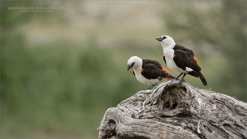 White-Headed Buffalo-Weaver<br /> Raymond Barlow Photo Tours to Tanzania Wildlife and Nature<br /> <br /> ray@raymondbarlow.com<br /> Nikon D850 ,Nikkor 200-400mm f/4G ED-IF AF-S VR<br /> 1/500s f/7.1 at 400.0mm iso640