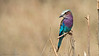Lilac-breasted Roller<br /> RJB Tanzania, Africa Tours<br /> Canon EOS 70D<br /> Swarovski Telescope STX 25x 65mm - 1200 mm<br /> 1/500s iso320
