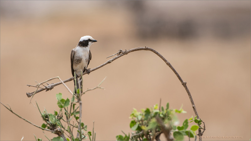 Gray-backed Shrike<br /> RJB Tanzania, Africa Tours<br /> <br /> ray@raymondbarlow.com<br /> 1/2000s f/5.6 at 400.0mm iso400