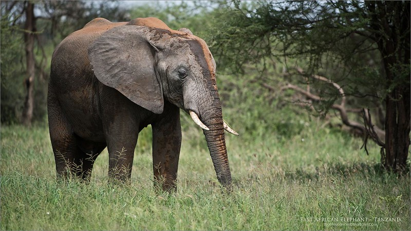 Love Africa!<br /> <br /> East African Elephant<br /> Tanzania, Africa<br /> <br /> Less then 3 hours from the airport, we were in this park and shooting these amazing animals! What a great expreience!<br /> <br /> ray@raymondbarlow.com<br /> Nikon D850 ,Nikkor 200-400mm f/4G ED-IF AF-S VR<br /> 1/1250s f/4.0 at 380.0mm iso250