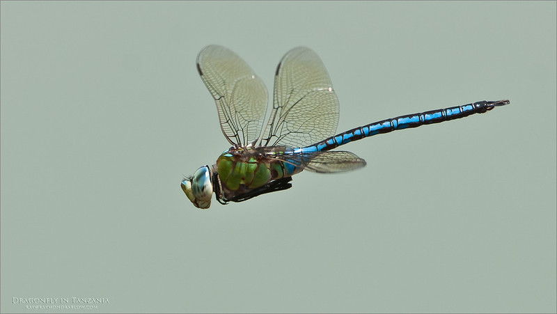 On my way to Africa soon - back in 2 weeks!<br /> <br /> Wish me luck??<br /> <br /> Dragonfly in Flight - Tanzania 2011<br /> Raymond Barlow Tours to Tanzania Wildlife and Nature<br /> <br /> ray@raymondbarlow.com<br /> Nikon D300 ,Nikkor 200-400mm f/4G ED-IF AF-S VR<br /> 1/500s f/6.3 at 400.0mm iso250