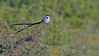 A9_04586 Pin-tailed Whydah 2 1200 web