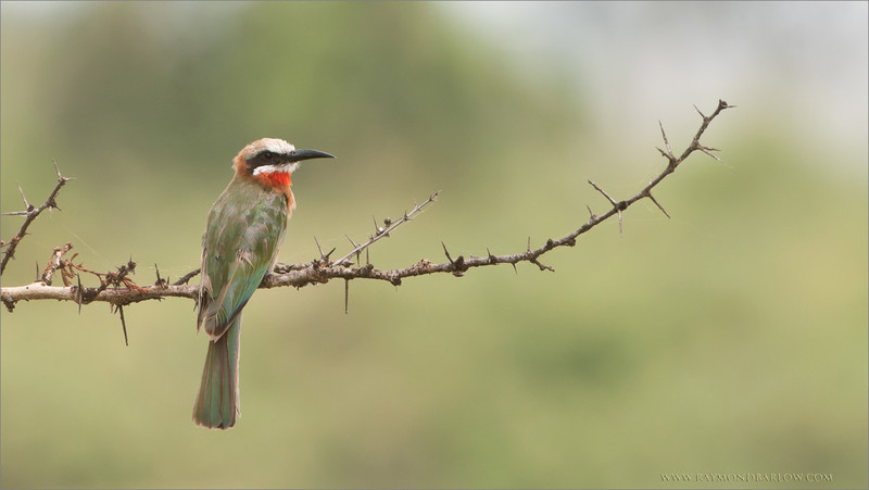 White-fonted bee-eater<br /> Raymond Barlow Photo Tours to Tanzania Wildlife and Nature<br /> <br /> Valentines day 2011... seems like forever!<br /> My Next Africa tour, February 2017 - Still room for 4 guests.<br /> <br /> ray@raymondbarlow.com<br /> Nikon D300 ,Nikkor 200-400mm f/4G ED-IF AF-S VR<br /> 1/320s f/6.3 at 400.0mm iso250