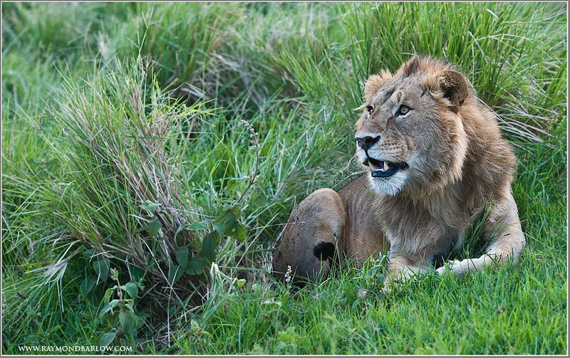 Roadside Lion