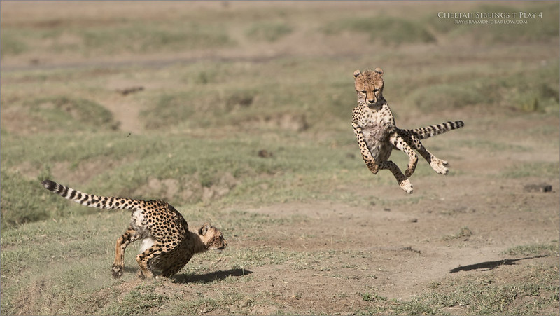 Cheetahs at Play Series 12 Shots  - Image 4 of 12