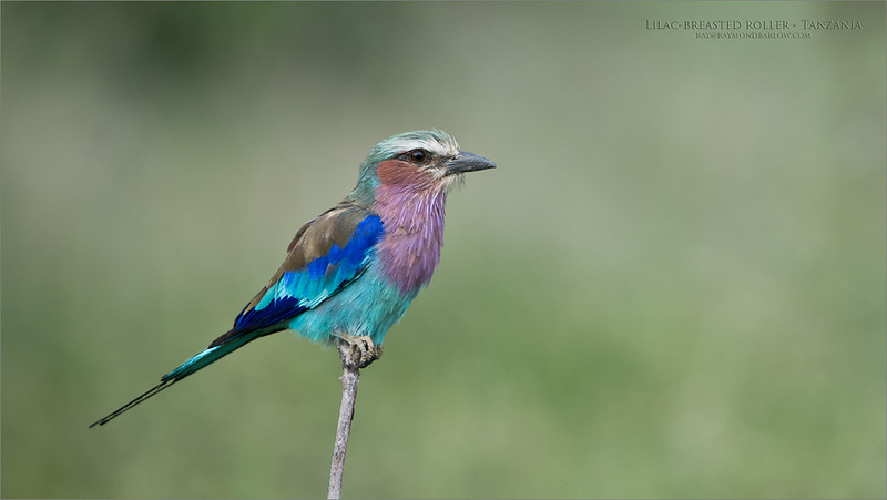 Wonderful chance to photograph Africa's beauty!  A couple hours previous to this shot we were getting off the plane, and checking through customs.  about 2 minutes with this bird, and smiles all around.<br /> <br /> Dreams come true in the parks of Tanzania. <br /> <br /> <br /> Lilac breasted roller - Tanzania<br /> Tanzania, Africa<br /> <br /> ray@raymondbarlow.com<br /> Nikon D850 ,Nikkor 200-400mm f/4G ED-IF AF-S VR<br /> 1/80s f/4.0 at 400.0mm iso250