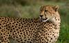 Cheetah 1920 pixels wide-screen