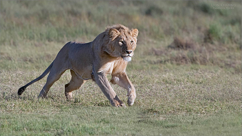 Another shot from the 2018 Africa photo tour. the photo opportunities were amazing, and as usual, the tour did not last forever!<br /> <br /> We will be back soon, please join Chad Barry and myself for more amazing and real nature!  February 2020!!<br /> <br /> Running Lion<br /> Africa<br /> <br /> ray@raymondbarlow.com<br /> Nikon D850 ,Nikkor 200-400mm f/4G ED-IF AF-S VR<br /> 1/2000s f/5.6 at 400.0mm iso800