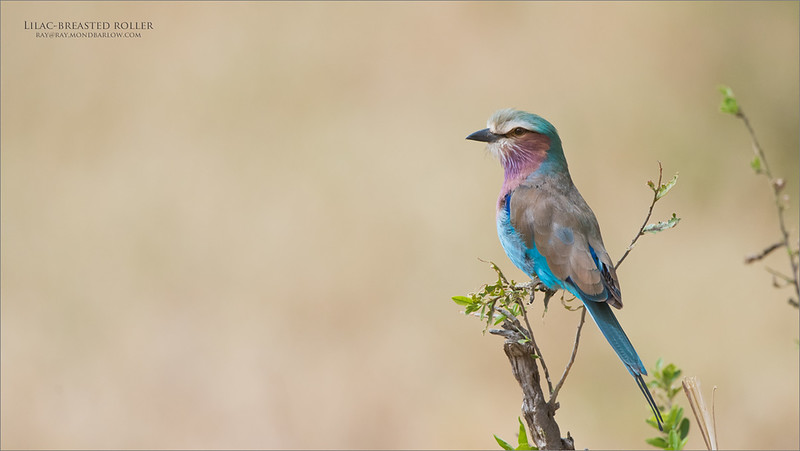 Lilac-breasted roller<br /> Raymond Barlow Photo Tours to Tanzania Wildlife and Nature<br /> <br /> ray@raymondbarlow.com<br /> Nikon D810 ,Nikkor 200-400mm f/4G ED-IF AF-S VR<br /> 1/2500s f/6.3 at 400.0mm iso1250