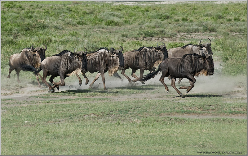 Wildebeests on the Run