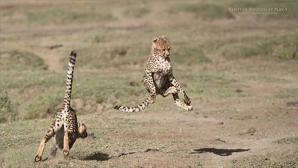 Cheetahs at Play Series 12 Shots  - Image 3 of 12