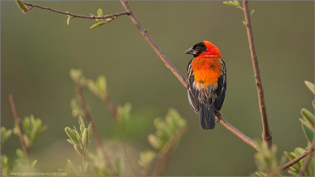 Northern Red Bishop - Africa!