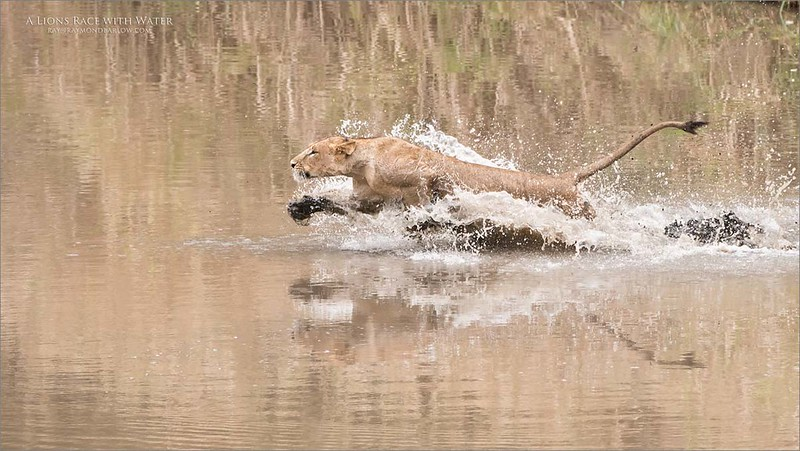 Lion - A Race with the Water<br /> Raymond Barlow Photo Tours to Tanzania Wildlife and Nature<br /> <br /> February 2018 - South Serengeti Tour<br /> September 2017 - Polar Bears Tour<br /> <br /> ray@raymondbarlow.com<br /> Nikon D810 ,Nikkor 200-400mm f/4G ED-IF AF-S VR<br /> 1/1250s f/5.0 at 360.0mm iso640