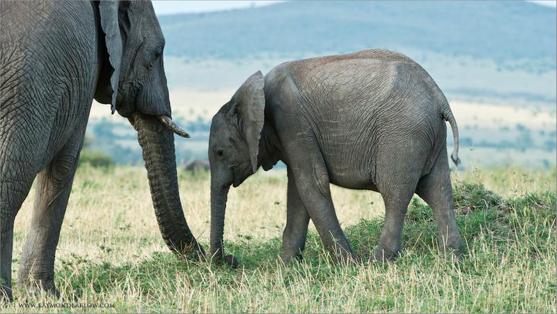Elephant Family<br /> RJB Tanzania, Africa Tours<br /> Nikon D800 ,Nikkor 200-400mm f/4G ED-IF AF-S VR<br /> 1/100s f/8.0 at 290.0mm iso320