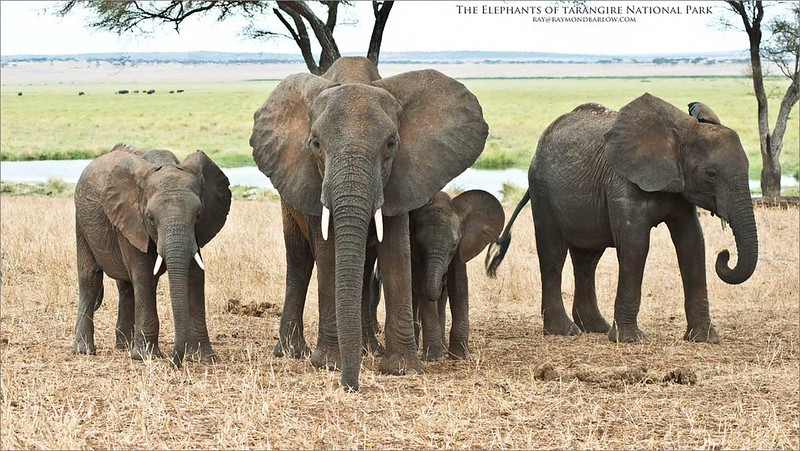 Elephant Family Portrait<br /> Raymond Barlow Photo Tours to Tanzania Wildlife and Nature<br /> <br /> How or Why anyone would harm these animals for money is truly and profoundly sickening.<br /> <br /> ray@raymondbarlow.com<br /> Nikon D800 ,Nikkor 80-200mm f/2.8D ED AF<br /> 1/320s f/7.1 at 80.0mm iso500