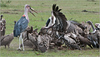 Vultures and Marabou Stork