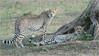 Cheetah Brother and Sister