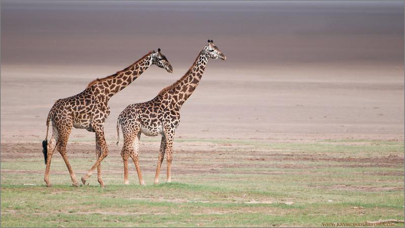 _DSC9536 Giraffe Couple web 1200