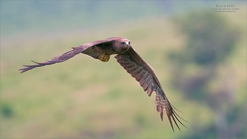 Black Kite<br /> <br /> Hunting for scraps of food!<br /> <br /> Raptors in flight have always been a favourite subject of mine, over the years, capturing the real and wild flight shots has been most rewarding.<br /> <br /> In this case, there were about 4 birds circling the picnic area, looking to clean up people's garbage!  Much like gulls at a french fry stand, and too much human influence for my liking, but still challenging and fun.<br /> <br /> At least nobody was purposely feeding these birds., if that were the case, I would have put my camera away.  Tanzania has strict rules about feeding wildlife, with very serious implications, so feeding wildlife is very much off limits.<br /> <br /> Thanks so much for looking!